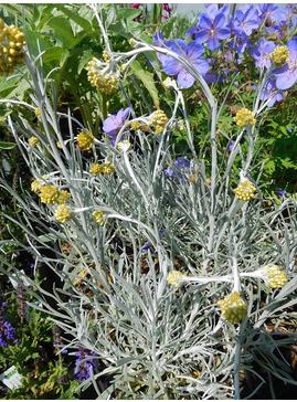 Helichrysum stoechas 'White Barn'