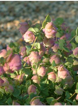 Origanum rotundifolium 'Jan's Pink'