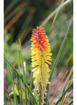 Kniphofia 'Flaming Torch'