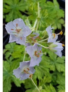 Geranium phaeum 'Mojito'