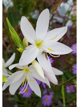 Hesperantha coccinea good white form