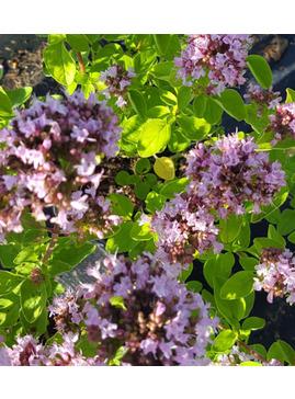 Origanum vulgare 'Pink Thumbles'