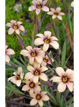 Sisyrinchium 'Raspberry'