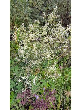 Thalictrum Splendide White = 'Fr21034'