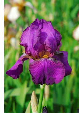 Iris 'Benton Evora'