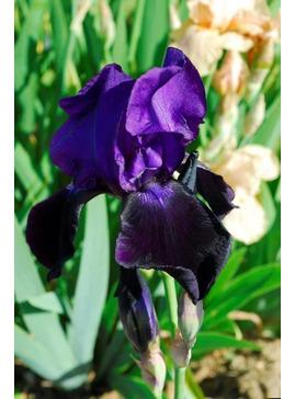 Iris 'Benton Judith'