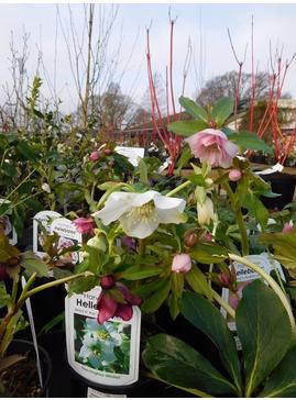 Helleborus x hybridus Single Flowered 2 Litre
