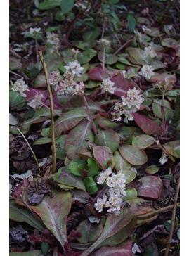 Chrysosplenium macrophyllum