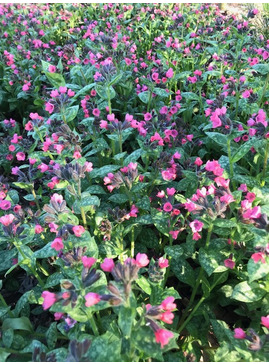 Pulmonaria 'Patric's Early Dawn'