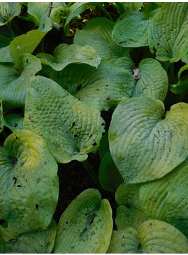 Hosta 'Golden Sunburst' (sieboldiana)