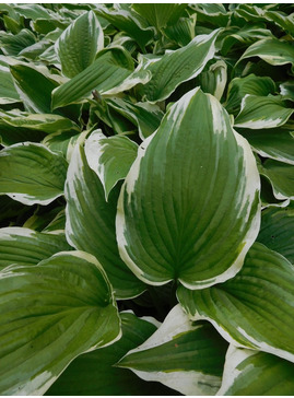 Hosta 'Spinners' (fortunei)