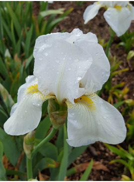 Iris White, possible Benton Iris