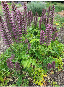 Acanthus 'Colin's Folly'