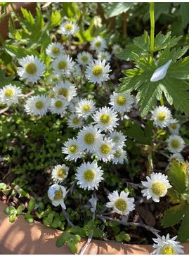 Anaphaloides (Helichrysum) bellidioides