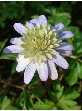 Anemone apennina double-flowered