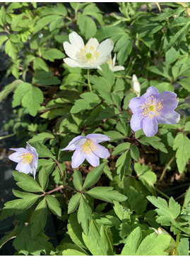 Anemone nemorosa Mixed