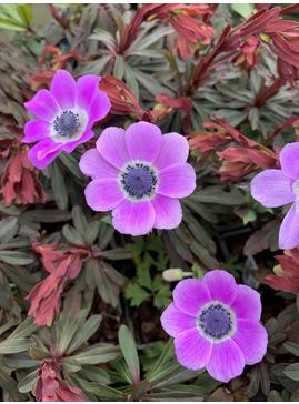 Anemone pavonina lilac-pink