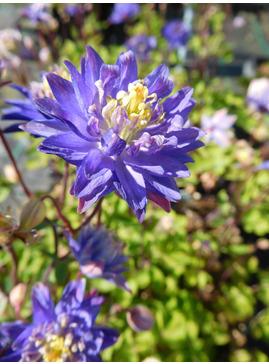 Aquilegia vulgaris 'Clementine Blue'