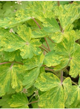 Aquilegia vulgaris 'Woodside Strain'