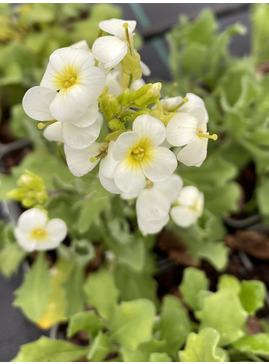 Arabis alpina subsp. caucasica 'Pixie Cream'