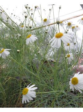Argyranthemum gracile 'Chelsea Girl'