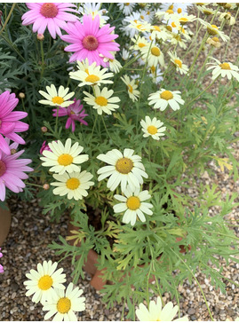 Argyranthemum 'Lemon Delight'