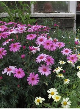 Argyranthemum Pink