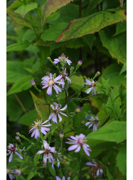 Symphyotrichum (Aster) 'Primrose Path'