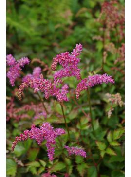 Astilbe 'Bronce Elegans'  (simplicifolia hybrid)