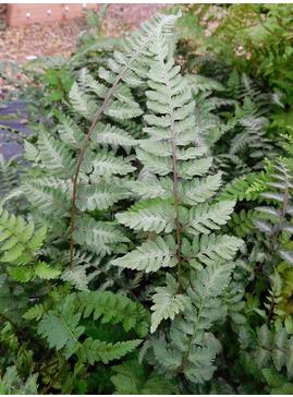 Athyrium niponicum var. pictum 'Red Beauty'