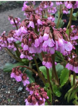 Bergenia emeiensis pink form