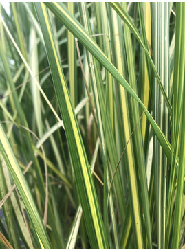 Calamagrostis x acutiflora 'England'