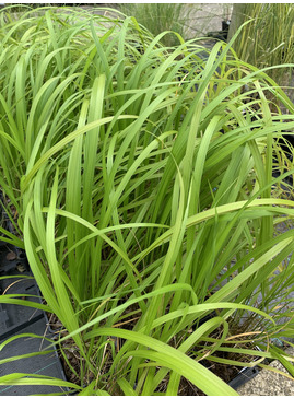 Calamagrostis effusiflora