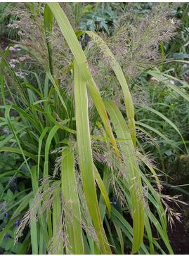 Calamagrostis sp. ex Prague Botanics