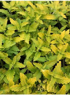 Caryopteris × clandonensis Hint of Gold = 'Lisaura'