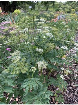 Chaerophyllum azoricum