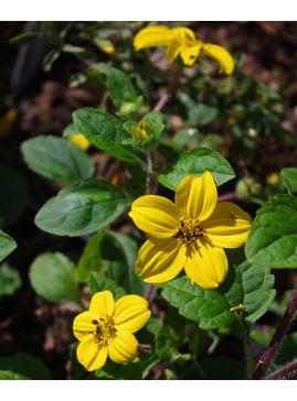 Chrysogonum virginianum var. australe 'Andre Viette'