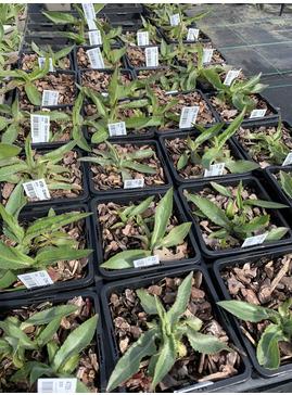 Cirsium tuberosum silver form