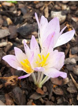 Colchicum Col.Davis (Edinburgh Botanics)
