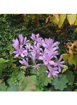 Colchicum 'Pink Star'