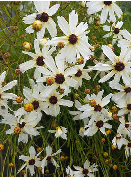Coreopsis 'Fool's Gold'