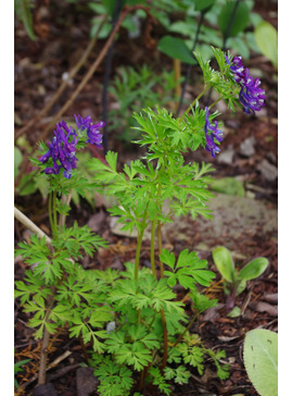 Corydalis 'Korn's Purple'