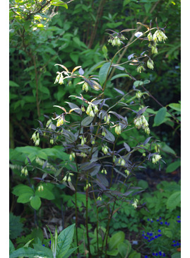 Disporum longistylum 'Night Heron' seedlings