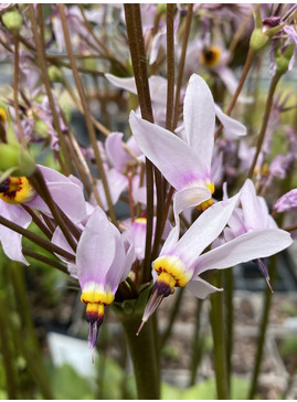 Dodecatheon pulchellum subsp. cusickii