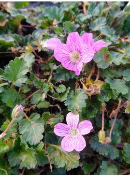 Erodium × variabile 'William Bishop'