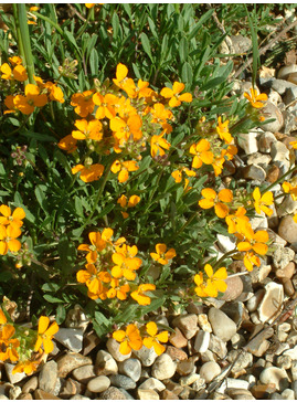 Erysimum 'Orange Flame'