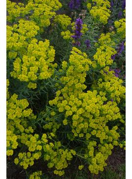 Euphorbia 'Abbey Dore'