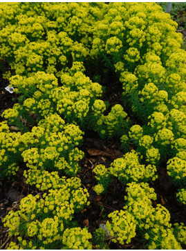 Euphorbia deflexa
