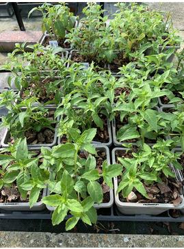 Fuchsia 'Grayrigg'