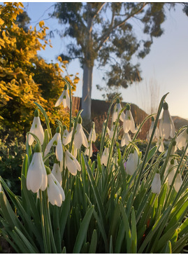 Galanthus 'James Backhouse' x 3 bulbs